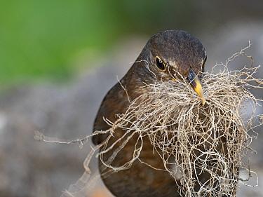 Blackbird, (Turdus merula) female collecting nest material in garden,Norfolk,England, UK. May.