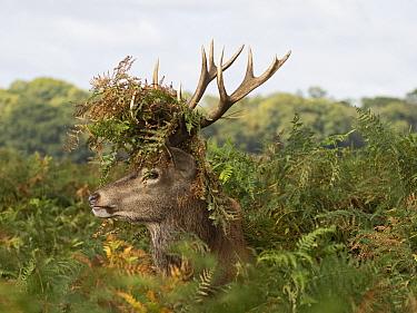 Red deer (Cervus elaphus) stag during rut, has cleared floor of bracken to sit and has bracken stuck in antlers, Richmond Park, London, September