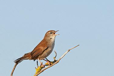 Cetti's warbler (Cettia ceti) Snettisham, Norfolk, autumn