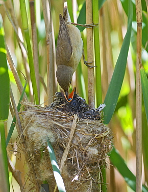 Reed Warbler (Acrocephalus scirpaceus) feeding damselfly to Cuckoo chick (Cuculus canorus) age 12 days, in nest, Norfolk, May