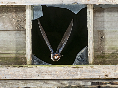 Barn swallow (Hirundo rustica) flying out of barn window with faecal sac, having visited nest to feed chicks, Lincolnshire, UK.