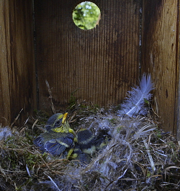 Blue tit (Cyanistes caeruleus) chicks inside nest box in garden Norfolk, UK, spring. Small repro only.