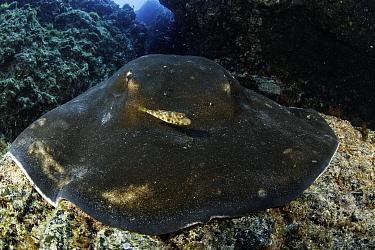 Small box fish in front of Round stingray (Taeniura grabata), Formigas Islet dive site, Santa Maria Island, Azores, Portugal, Atlantic Ocean