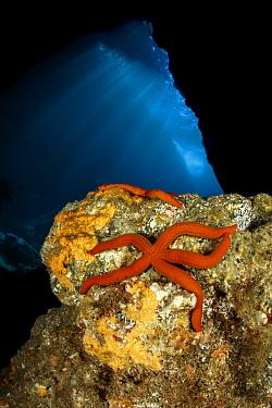 Purple sea star, (Ophidiaster ophidianus), Gruta Azul dive site, eastern coast of Santa Maria Island, Azores, Portugal, Atlantic Ocean