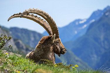 Alpine ibex (Capra ibex) resting in mountain pasture, Ticino, Switzerland