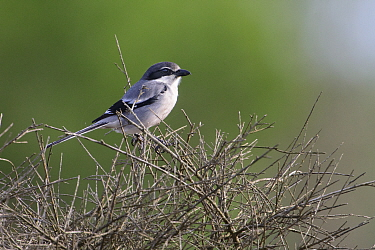 Iberian grey shrike (Lanius meridionalis) perched on scrub. Donana National Park, Spain. March.