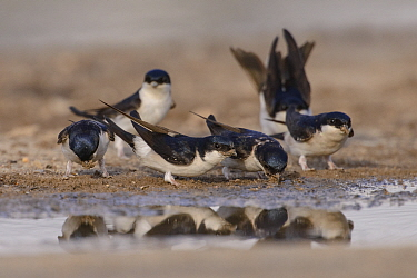 House martins (Delichon urbicum) collecting mud from puddles for nest-building. March. Donana National Park, Spain. March.