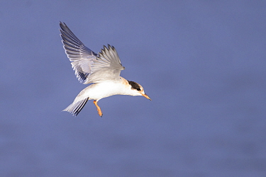 Common tern (Sterna hirundo) juvenile in flight. Suffolk, UK. July.