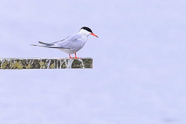 Common tern (Sterna hirundo) perched. Suffolk, UK. July. Croped