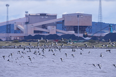 Oystercatcher (Haematopus ostralegus) and red knot (Calidris canutus) flock in flight with industrial buildingss of Teeside in the background. Durham, UK. October