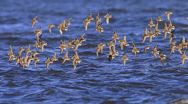 Dunlin (Calidris alpina) flock in flight over the sea. Durham, UK. October.