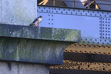 Peregrine falcon (Falco peregrinus) perched on rail bridge with feral pigeon (Columba livia domestica) prey. Newcastle, UK. October.