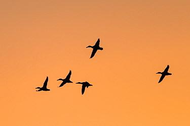 Northern shoveler (Anas clypeata) flock in flight, silhouetted at sunrise. London, UK. January.
