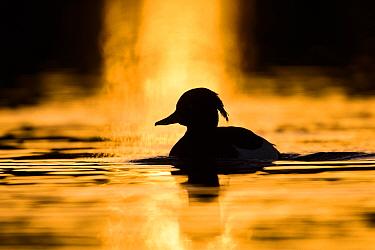 Tufted duck (Aythya fuligula) drake swimming at sunrise. London, UK