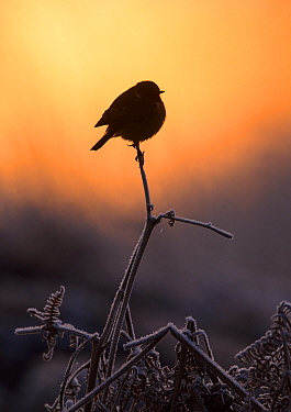 European stonechat (Saxicola rubicola) perched on frost-covered bracken at sunrise. London, UK. January