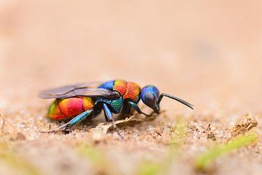 Ruby-tailed wasp (Chrysis ignita) on sand. Suffolk, UK. July.