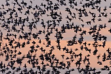 Starling (Sturnus vulgaris) murmuration against the sky at sunset. Suffolk, UK. July