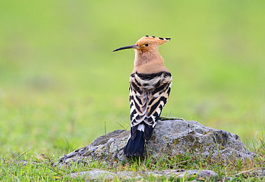 Eurasian hoopoe (Upupa epops) perched on rock. Extremadura, Spain. March