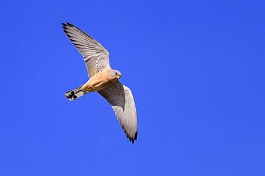 Lesser kestrel (Falco naumanni) male in flight. Extremadura, Spain. March.