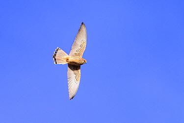 Lesser kestrel (Falco naumanni) female in flight. Extremadura, Spain. March.