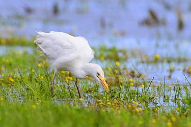Cattle egret (Bubulcus ibis) feeding in marshland. Donana National Park, Spain. March