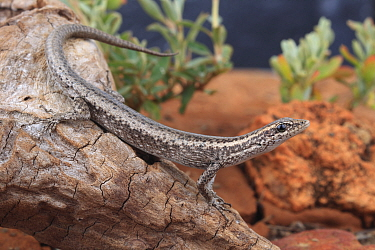 Ragged snake-eyed skink (Cryptoblepharus pannosus) from Waukaringa, Australia. Controlled conditions.