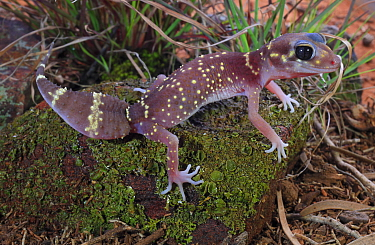 Thick-tailed gecko (Underwoodisaurus milii) female, Ironbark Woodland habitat, Victoria, Australia. Controlled conditions.