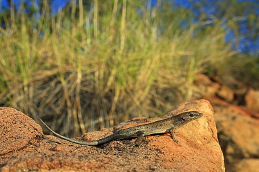 Two-spined rainbow skink (Carlia amax) forages on open rock faces, Boodjamulla NP, NW Queensland. Summer.