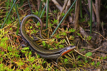 Eastern three-lined skink (Acritoscincus duperreyi) basking near Wonthaggi in the Bass Coast region in Victoria, Australia.