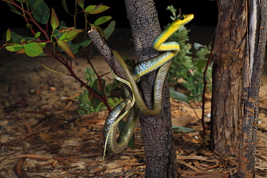 Green tree snake (Dendrelaphis punctulatus) juvenile from Brigalow habitat near Moonie in inland SE Queensland, Australia.