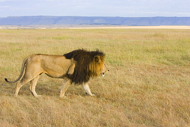 Lion (Panthera leo) with dark mane walking, in profile, Masai Mara, Kenya