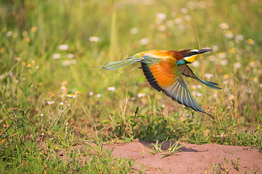 Bee-eater (Merops apiaster),flying near nest -on flat ground, rather than in sand bank, Hungary
