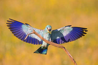 Roller (Coracias garrulus) with grasshopper prey, landing on perch, wings spread, Hungary