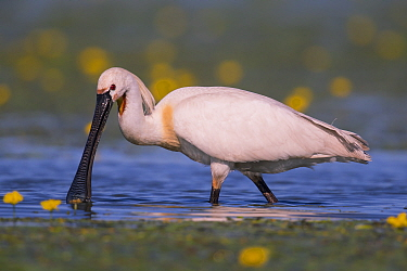 Spoonbill ( Platalea leucorodia) wading, with yellow Water-lily flowers, Hungary