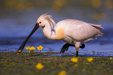 Spoonbill ( Platalea leucorodia) wading with yellow Water-lily flowers, Hungary