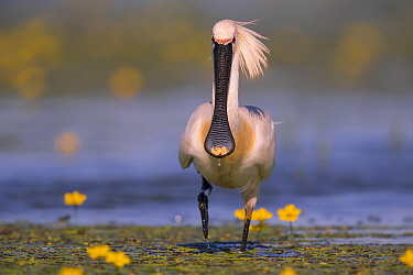 Spoonbill ( Platalea leucorodia), with yellow flowers of Fringed Water-lily, Hungary