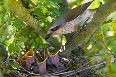 Red-backed shrike (Lanius collurio), female with chicks gaping, begging for food, Germany