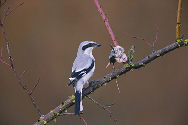 Great Grey shrike (Lanius excubitor) with mouse, prey impaled on thorn, Germany