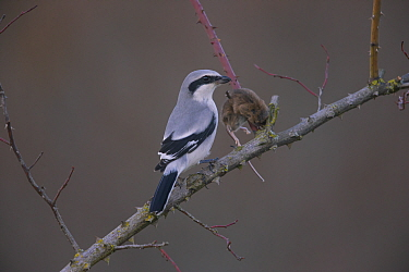 Great Grey shrike (Lanius excubitor) with mouse prey impales on on thorn, Germany