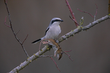 Great Grey shrike (Lanius excubitor) with mouse prey, Germany