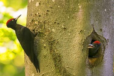 Black Woodpecker (Dryocopus martius), male feeding chicks, Bavaria, Germany