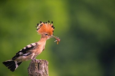 Hoopoe (Upupa epops) with prey, Hungary