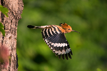 Hoopoe (Upupa epops) in flight, Hungary