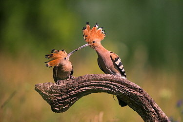 Hoopoe (Upupa epops) feeding mate, Hungary