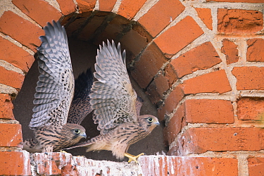 Kestrel (Falco tinnunculus), chicks stretching wings, Germany