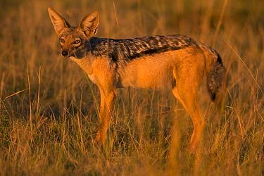 Black-backed jackal (Canis mesomeles), Masai Mara, Kenya