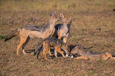 Black-backed jackal (Canis mesomeles), family, Masai Mara, Kenya