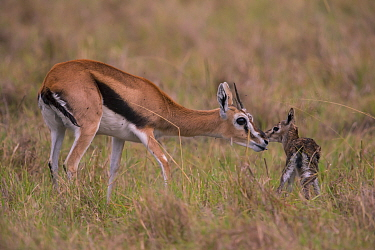 Thomson's gazelle (Gazella thomsoni) mother with new born fawn Masai Mara, Kenya