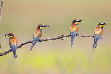Four Bee-eaters (Merops apiaster) perched on branch, each with insect prey in beak, Hungary