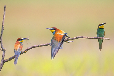 Three Bee-eaters (Merops apiaster) perched, two with insect prey, Hungary